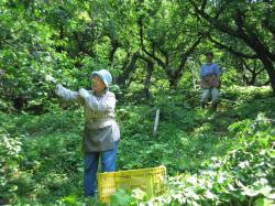 梅酒 釜谷収穫風景